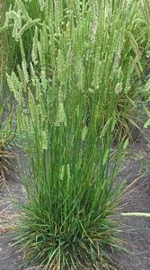 Gras Kamgras (niet altijd voorradig)  per kg.