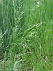Gras Ruwbeemd (niet altijd voorradig) p/kg