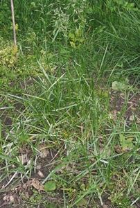 Gras Veldbeemd (niet altijd voorradig) p/kg