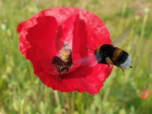 Bijenmengsel Tubinger Basic  per kg.