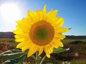 Zonnebloemzaad Hoog 1 bloem p/kg