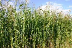 Gras Soedangras (Sorghum) Piper p/kg
