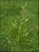 Gras Beemdlangbloem (niet altijd voorradig) per kg.