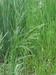 Gras Ruwbeemd per kg.