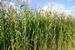 Gras Soedangras (Sorghum) (niet altijd voorradig) per kg.