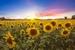 Zonnebloemzaad Sunspot laag 1 bloem p/kg