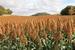 Gras Soedangras (Sorghum) Vegga p/kg
